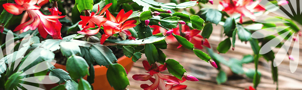 Beautiful Holiday Plants: Christmas Cactus, Amaryllis, and More